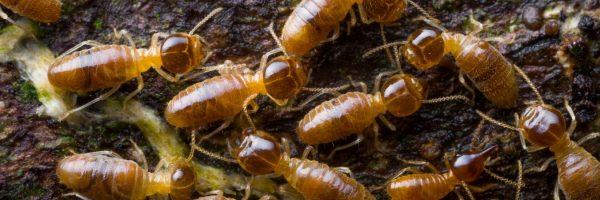 termites_slide2